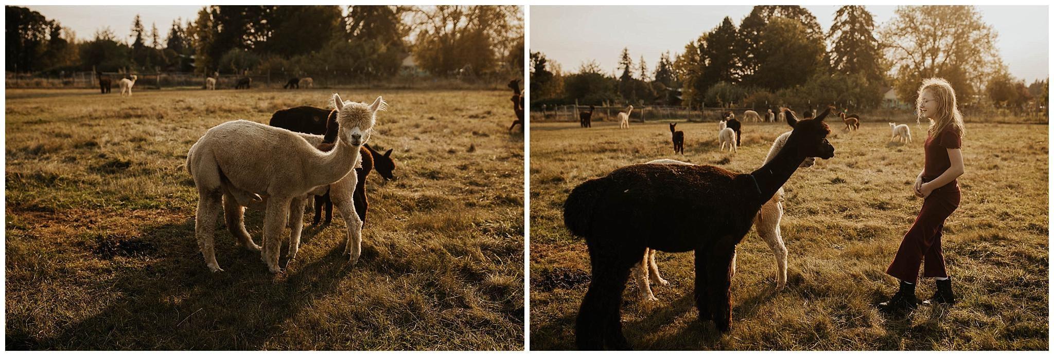 fluffy adorable alpacas on a farm near portland oregon